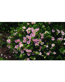 shrubby cinquefoil LOVELY PINK 'Pink Beauty'