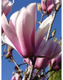 Magnolia 'Peppermint Stick'