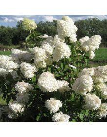 Hortensia paniculata 'Phantom' 60-80 cm