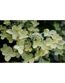 "hortensia  paniculata ""Polestar"""