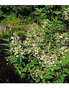 Hortensia paniculata PRIM'WHITE 'Dolprim' PBR
