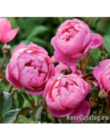 trandafir ROYAL JUBILEE 'Auspaddle'