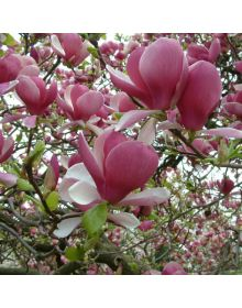 Magnolia xsoulangeana 'Rustica Rubra'