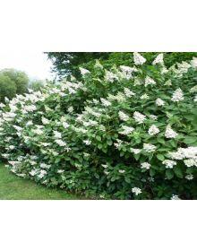 Hortensia paniculata 'Tardiva'