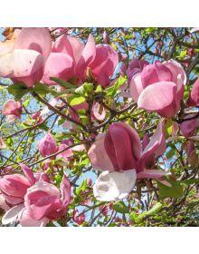 Magnolia xsoulangeana 'Verbanica'