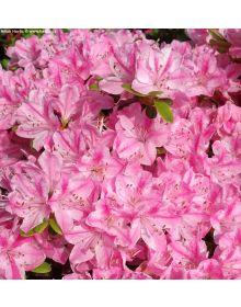 Azalea japonica kermesina