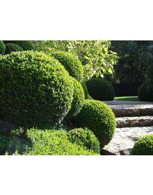 "cimisir vesnic verde ""Salicifolia'"