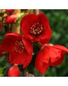 Gutui japonez 'Cido Red' 40-60 cm