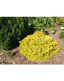 Abies nordmanniana Golden Spreader'