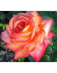 """Rose """"Die Welt"""""""
