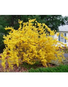 Forsythia medie 'Golden Times'