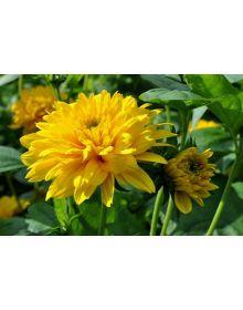 Floarea-soarelui cu zece petale 'Soleil d'Or'