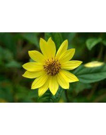 Floarea-soarelui 'Lemon Queen'