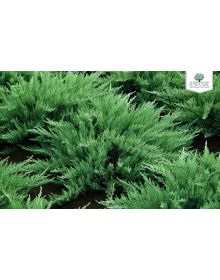 Ienupar cazac  'Tamariscifolia' 30-40 cm