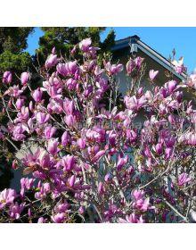 Magnolia 'George Henry Kern' 60-80 cm