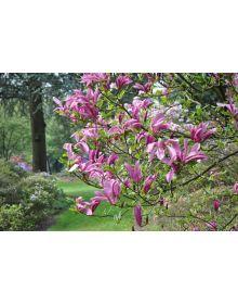 Magnolia 'Susan' 60-80 cm