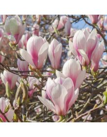 Magnolia xsoulangeana 'Picture'