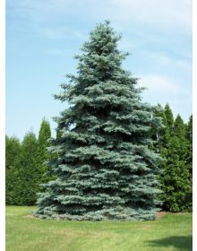 Picea pungens 40-60 cm