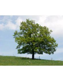 Stejar englezesc (obisnuit)