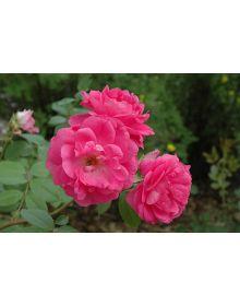 Trandafir 'Morden Centennial'