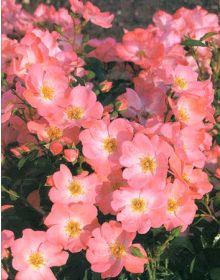 Trandafir 'PINK BLANKET' Wiljans  PBR