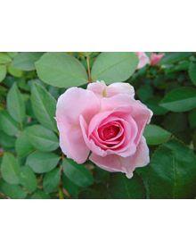 Trandafir 'Prairie Joy'