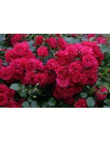 trandafir TOSCANA