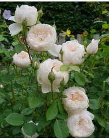 Trandafir  David Austin Glamis
