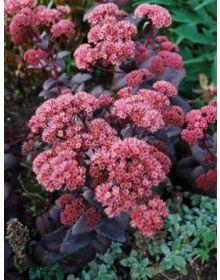 """iarba-grasa (sedum) """"Purple Emperor"""""""
