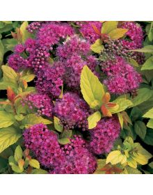 "spirea japoneza ""Golden Princess"""