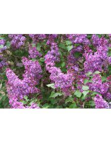 """liliac Syringa hyacinthiflora """"Pocahontas"""""""