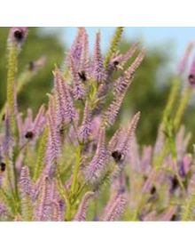"veronicastrum virginicum ""Temptation"