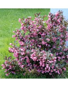 "weigela florida ""Foliis Purpureis"""